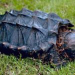 Что едят каймановые черепахи ?