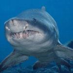 Сколько живут тигровые акулы ?