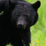 Сколько живут черные медведи ?