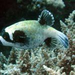 Что ест рыба фугу (иглобрюх) ?