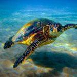 Сколько живут морские черепахи ?