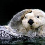 Сколько живут морские выдры ?