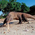 Что едят Комодские вараны ?