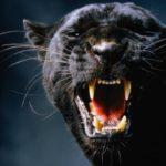 Что едят черные пантеры ?