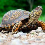 Сколько живут черепахи ?