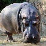 Сколько живут бегемоты ?