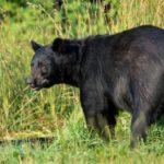 Что едят черные медведи ?