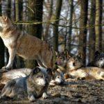 От чего умирают волки ?