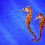 Сколько живут морские коньки ?
