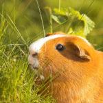 Что едят морские свинки ?