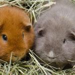 Сколько живут морские свинки ?