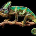 Что едят хамелеоны в дикой природе?