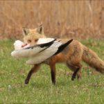 Что едят лисицы ?