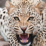 Сколько живут ягуары ?