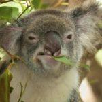 Что едят коалы ?