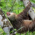 Сколько живут ленивцы ?
