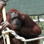 Что едят орангутанги ?