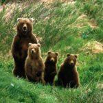 Что едят бурые медведи ?