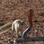 Что едят мангусты ?