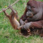 Сколько живут орангутанги ?