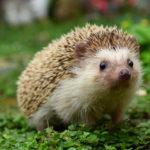 Что едят ежики в дикой природе ?