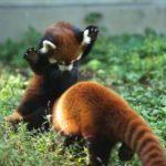 Что едят красные панды ?