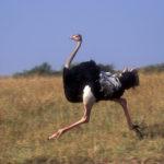 Сколько живут страусы ?