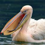 Враги пеликана