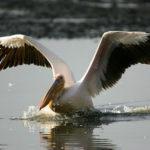 Что едят пеликаны ?