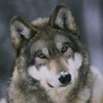 Насколько сильны челюсти волка ?
