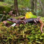 Сколько живут саламандры ?