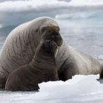 Что едят моржи ?