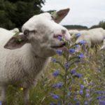 Сколько живут овцы ?