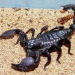 Что едят Скорпионы ?
