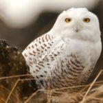 Что едят белые совы ?
