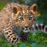 Сколько живут леопарды ?