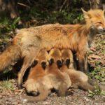 Сколько живут лисицы ?