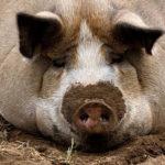 Что едят свиньи ?