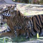 Что едят тигры ?