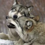 Как быстро волки могут бежать ?
