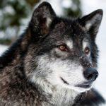 Сколько живут волки в дикой природе ?
