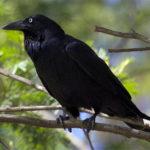 Что едят вороны ?