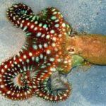 Что едят осьминоги ?