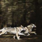 Что едят волки ?