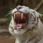 Что едят белые тигры ?