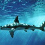 Что едят акулы-молоты ?