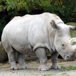 Где живут белые носороги ?