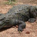 Сколько живут аллигаторы ?