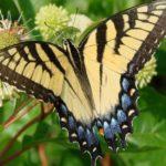 Как привлечь бабочек ?