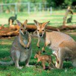 Может ли кенгуру прыгать назад ?